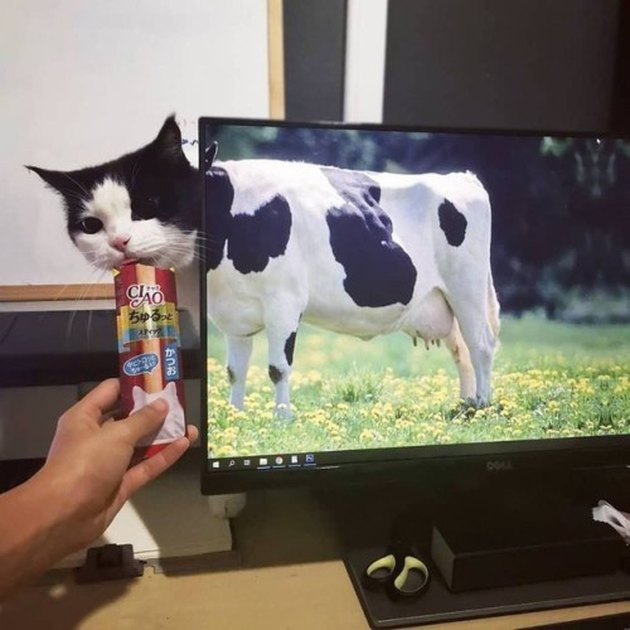 Black and white cat standing behind computer monitor displaying a cow