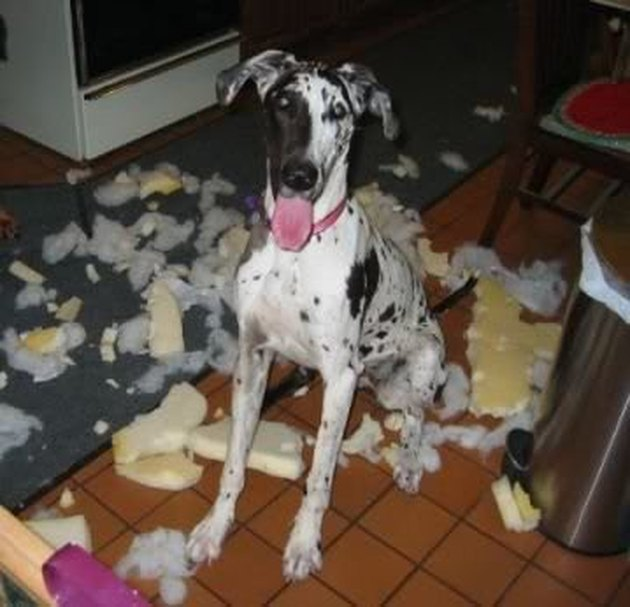 Great Dane surrounded by cushion padding.
