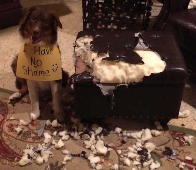 "Australian Shepherd next to destroyed leather ottoman, wearing a sign that reads ""I Have NO Shame :)"""