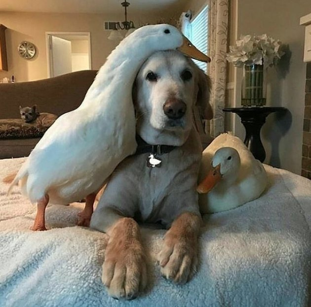 dog on a bed with ducks