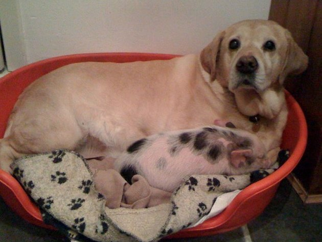 labrador and spotted piglet in a doggy bed