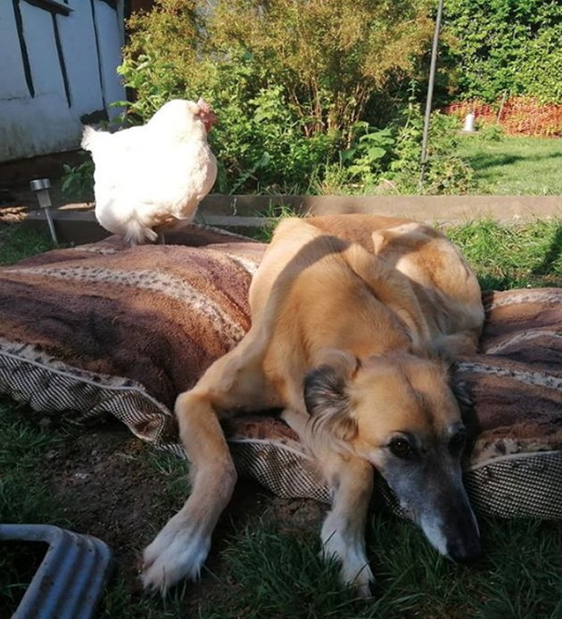 dog and chicken on a large blanket