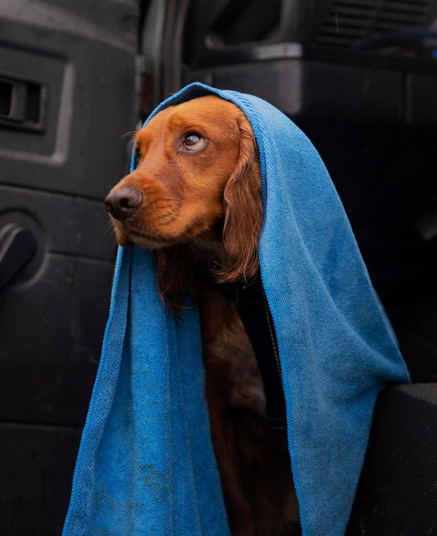 Dog in a blue towel looking skyward