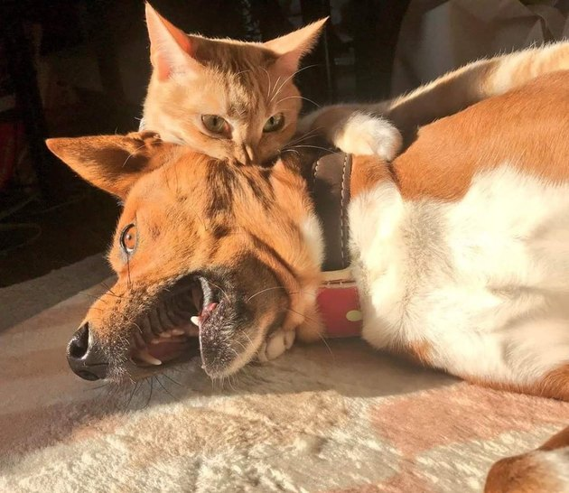 Cat biting dog's neck dramatically.