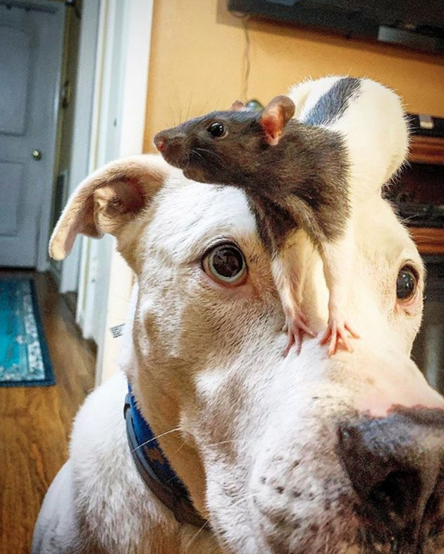 a rat on a dog's head