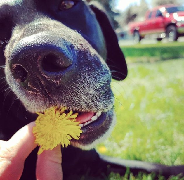 black lab eating a marigold