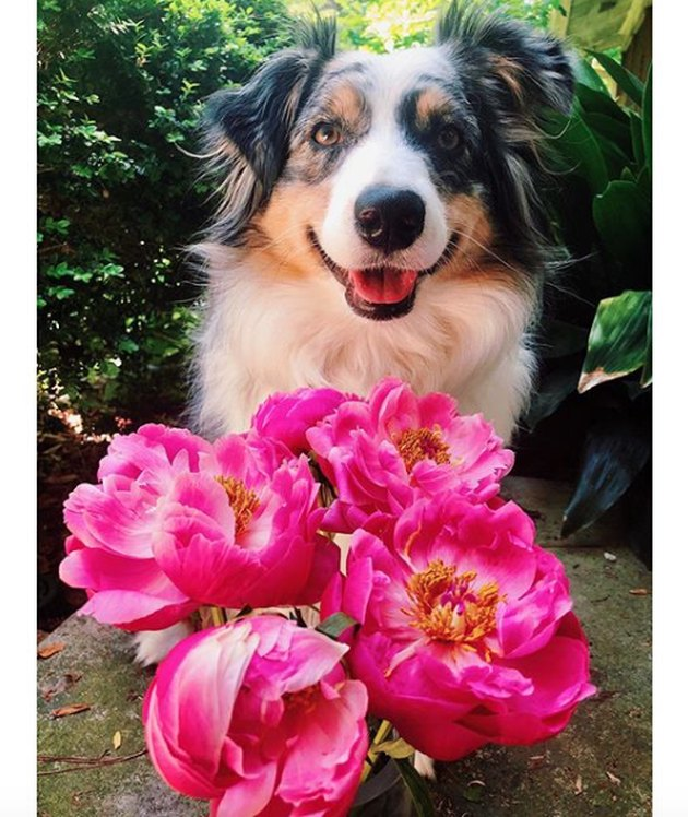 dog standing before pink peonies