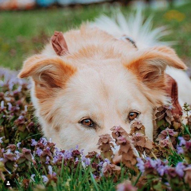 dog in a field of purple flowers