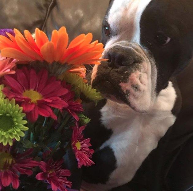 bulldog sniffing a bouquet