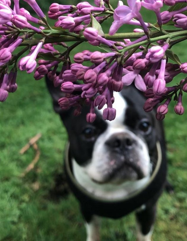 dog staring at purple flowers
