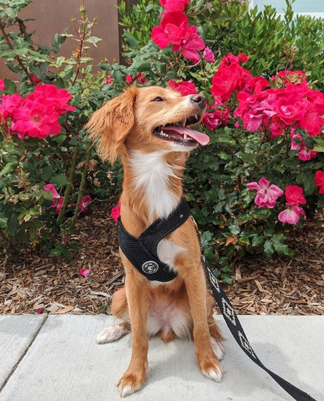 dog sniffing big red roses