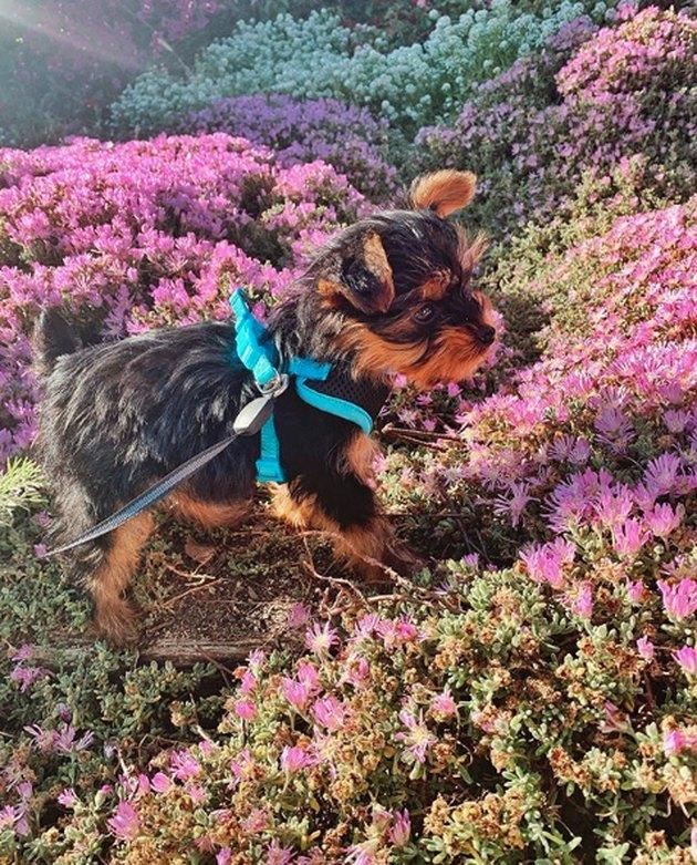 yorkie sniffing purple wildflowers