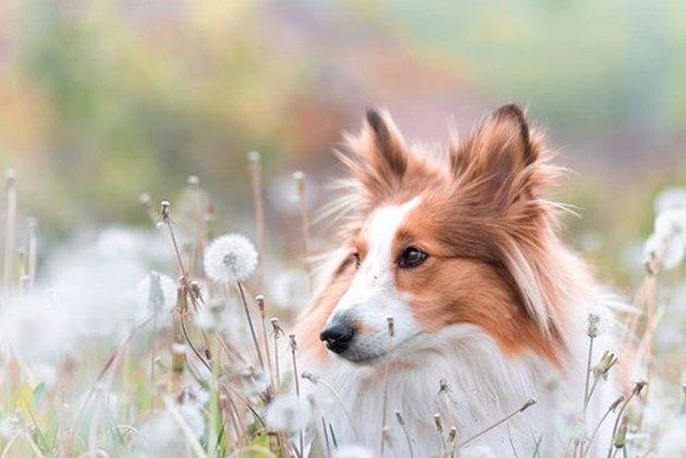 sheltie in field of dandelions