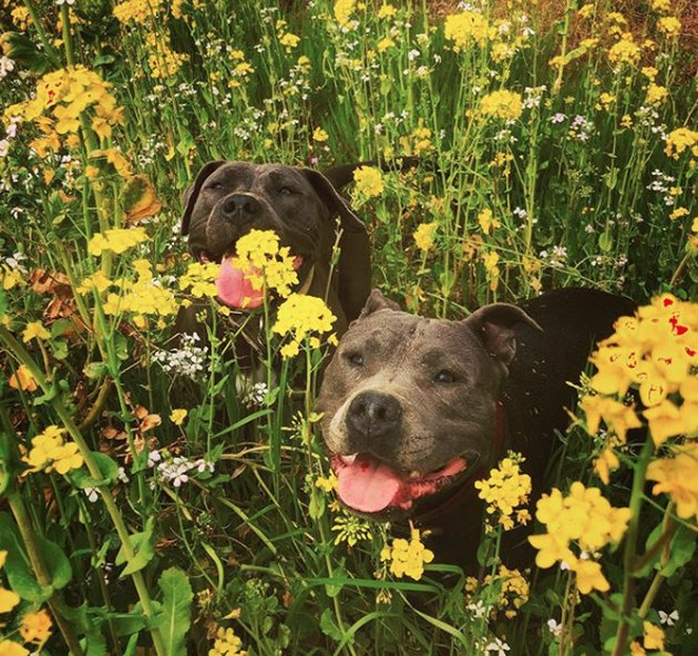 two dogs in field of yellow flowers