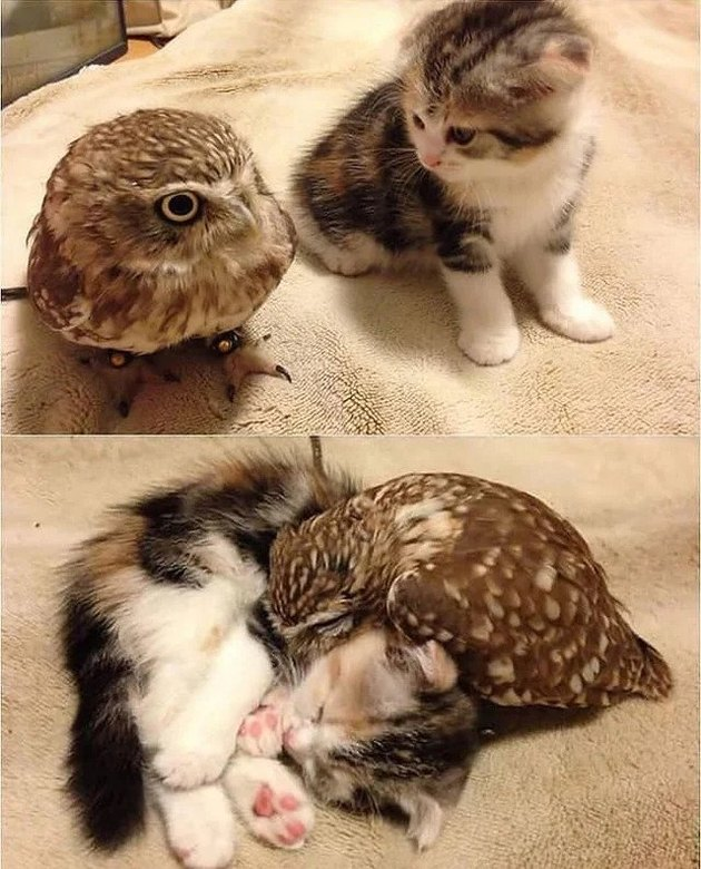 kitten cuddles with baby owl