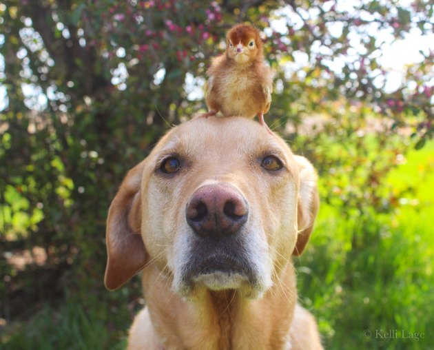 baby chick sits on dogs head
