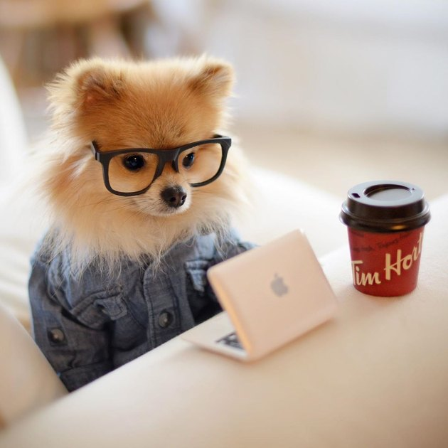 Pomeranian in hipster glasses with a laptop and coffee