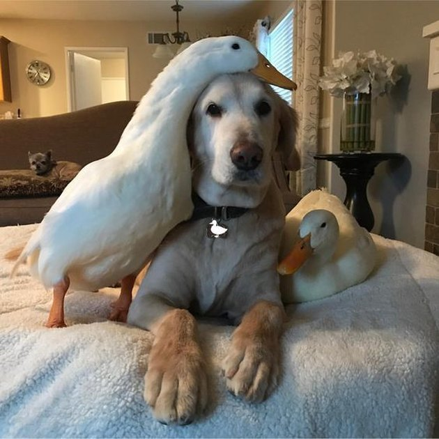 ducks snuggle with golden retriever