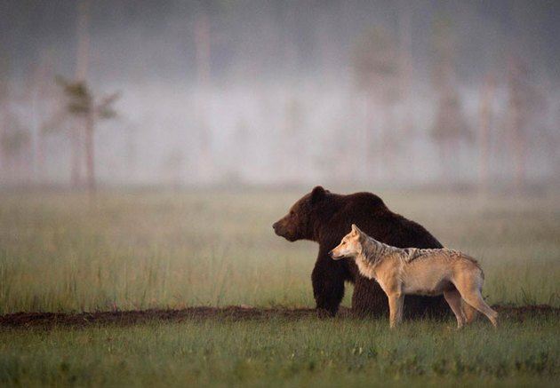 wolf and bear hunt together