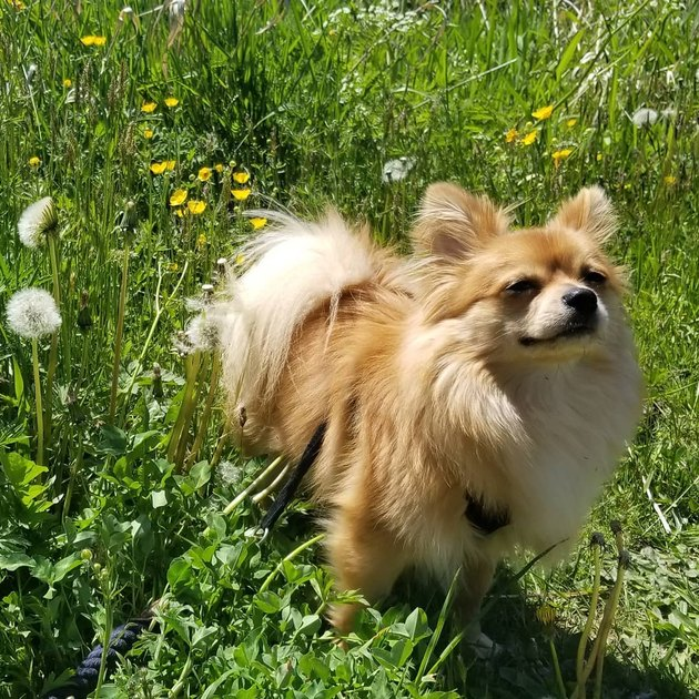 Pomeranian in a field of dandelions