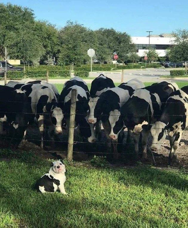 curious cows surround bulldog