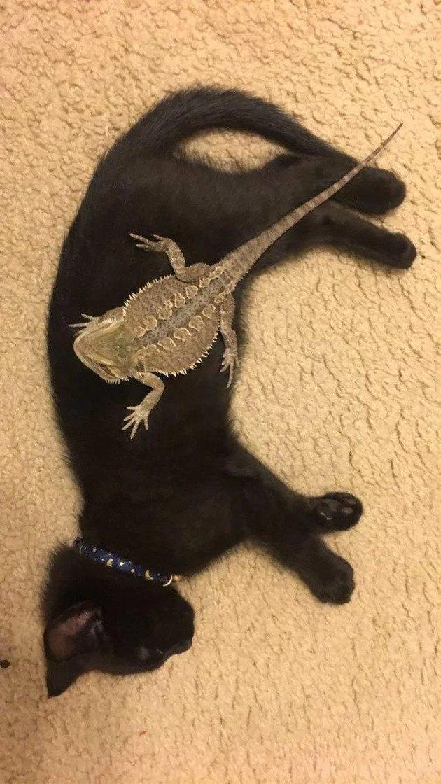 lizard sleeps on black cat
