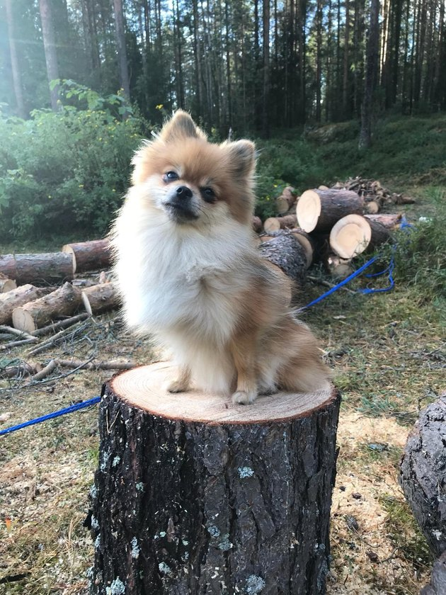 Pomeranian standing on a tree stump