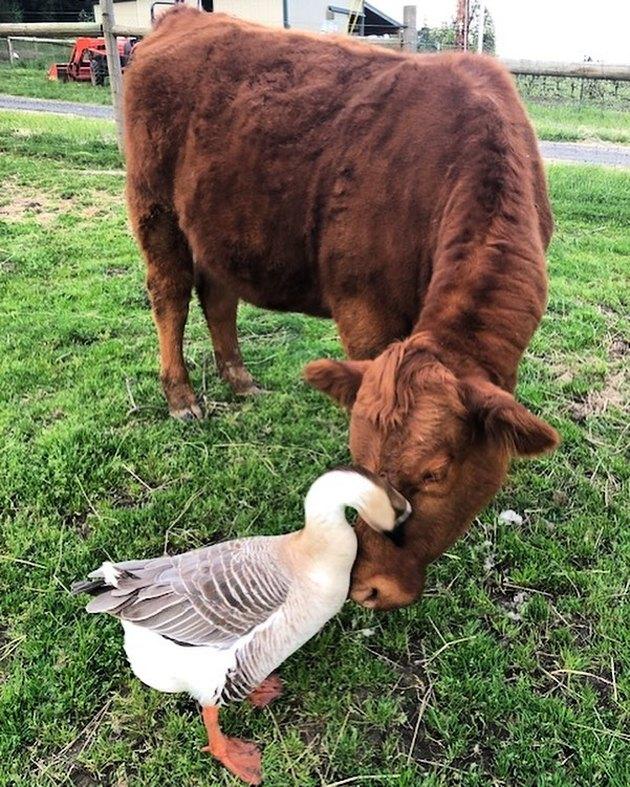 duck headbutts cow