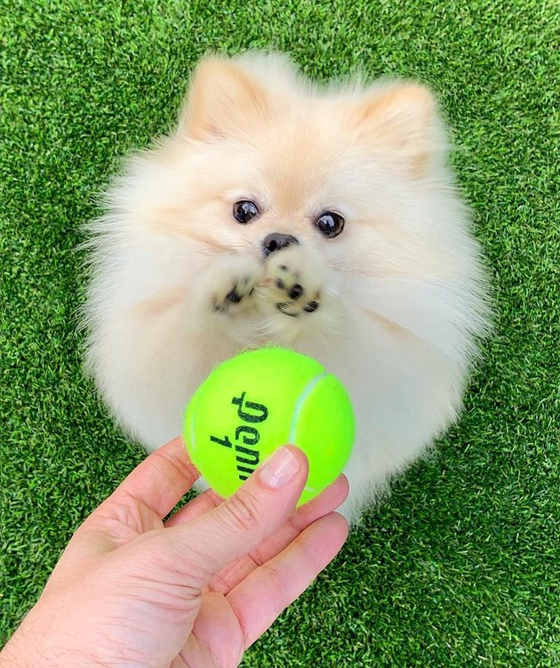 Pomeranian reaching for a tennis ball