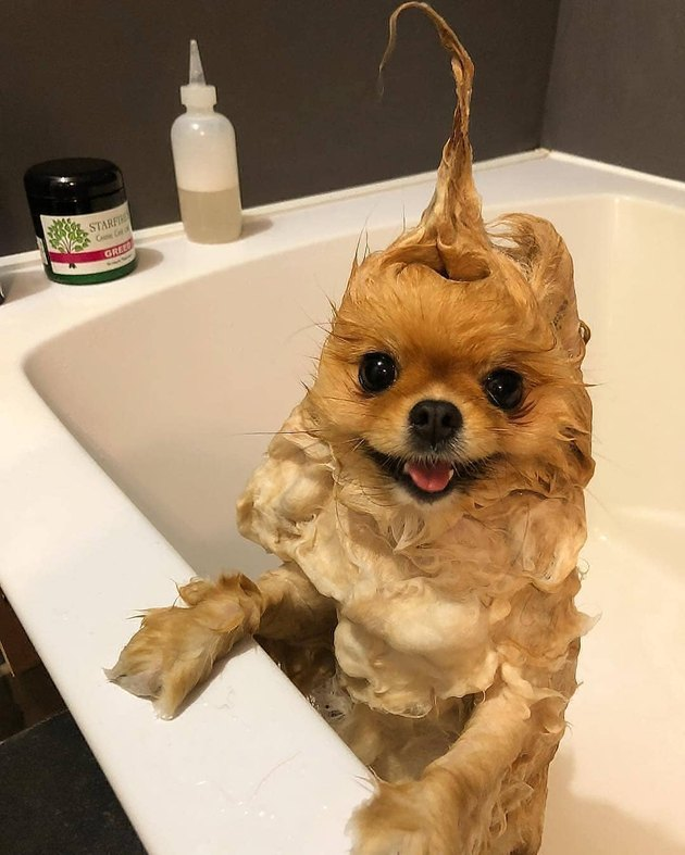 Pomeranian in a bathtub