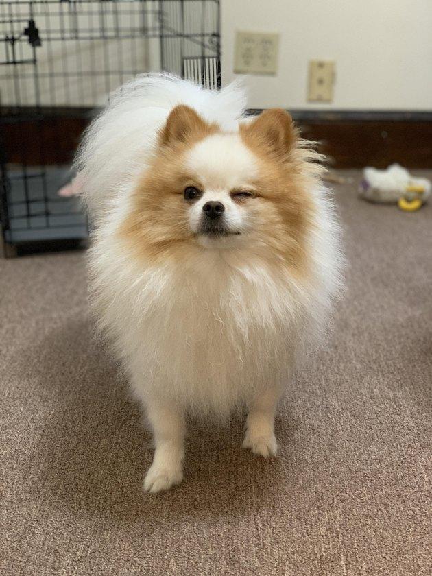 Pomeranian winking