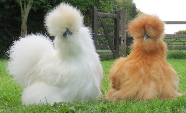 Two fluffy Silkie chickens.