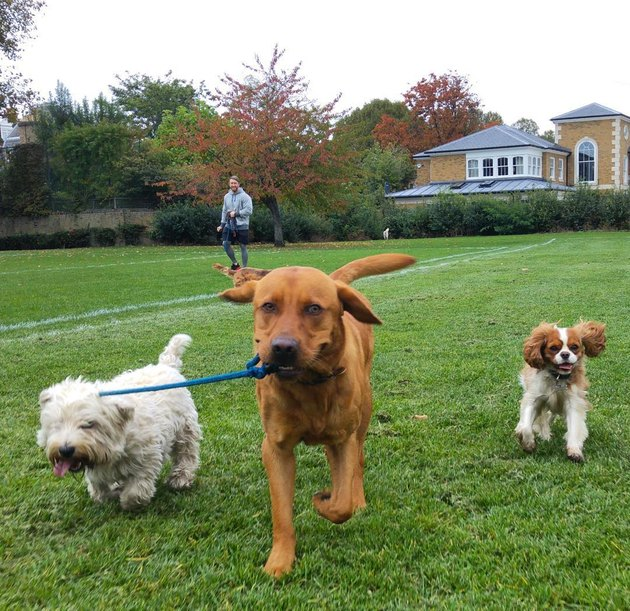 Dogs walking other dogs