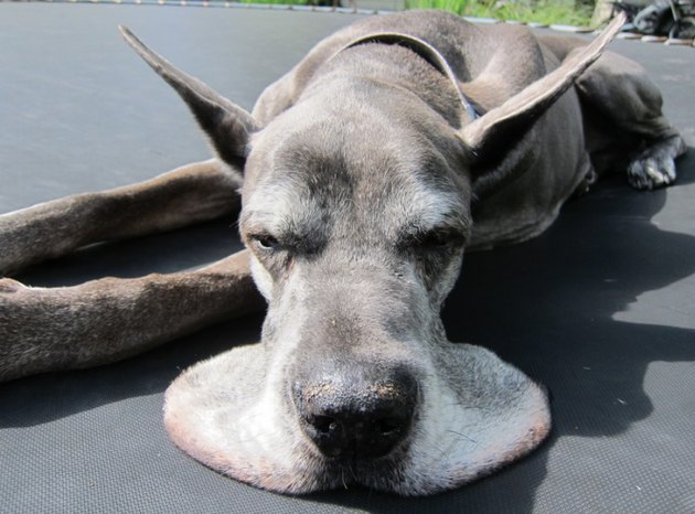 Great Dane with jowls looks like it's melting.