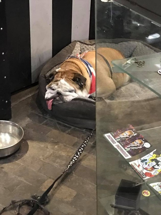 Bulldog that looks like its melting into its bed.