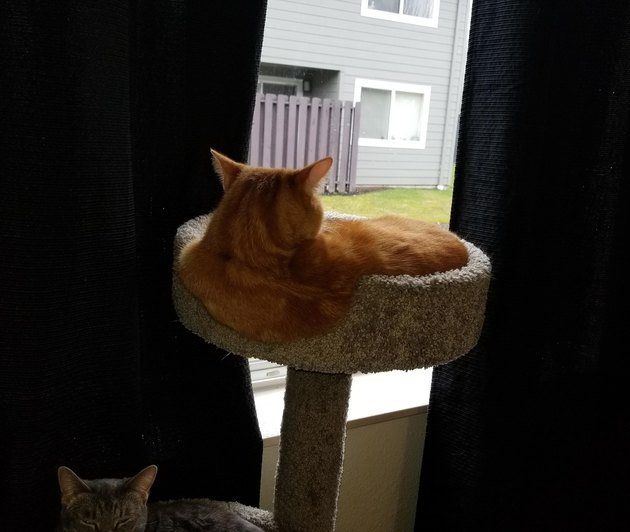 Cat looks like it's melting over the side of cat tree.