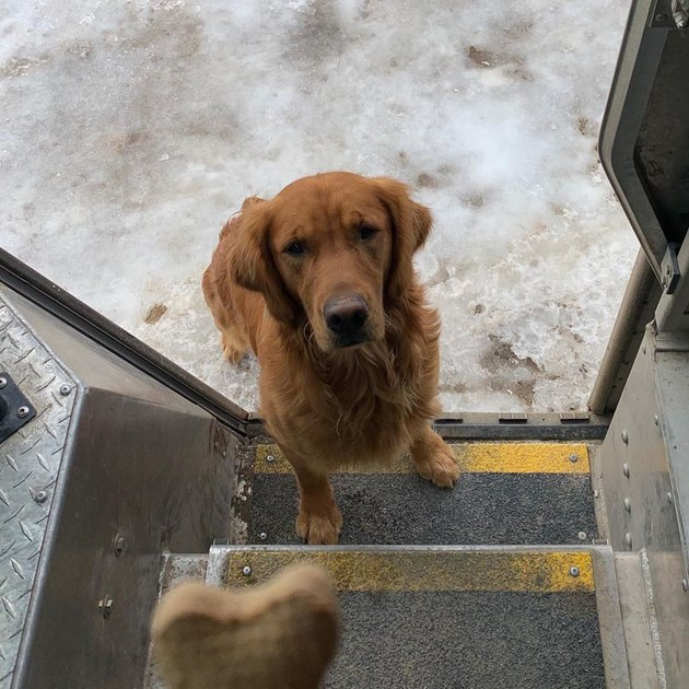Dog waiting on steps of UPS truck for biscuit
