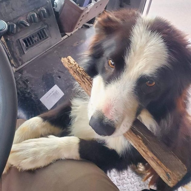 Dog carrying stick in cab of UPS truck