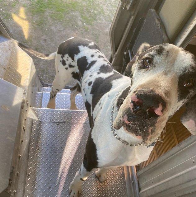 Great Dane standing inside a UPS truck