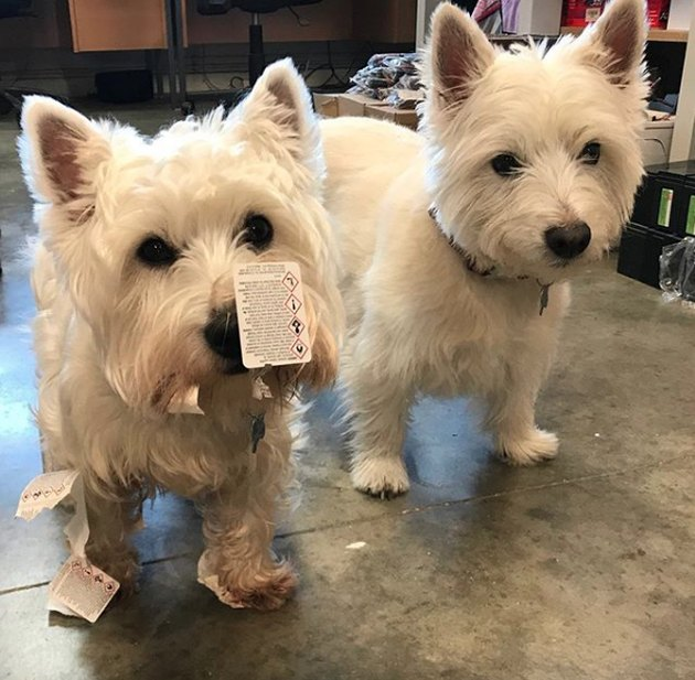 two westies with chewed up cards