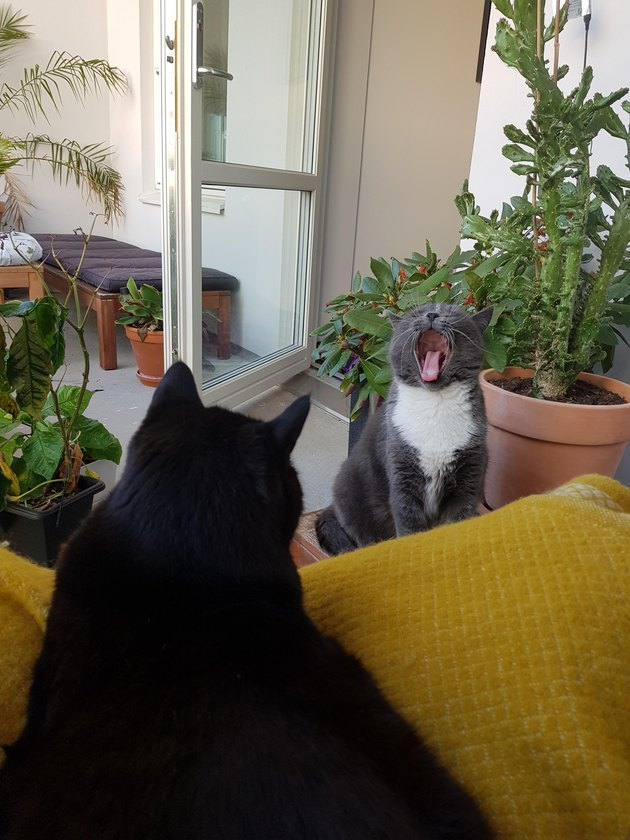 Two cats. One is yawning.