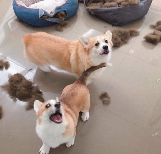 two corgis with chewed up bedding