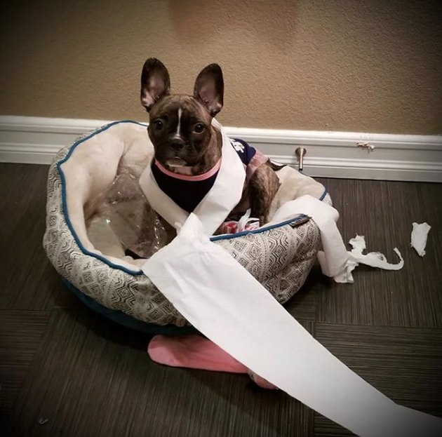 french bulldog wrapped in toilet paper