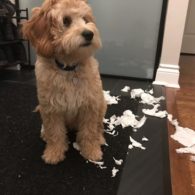 dog with chewed up toilet paper