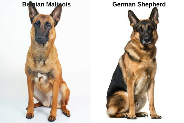German Shepherd and Belgian Malinois