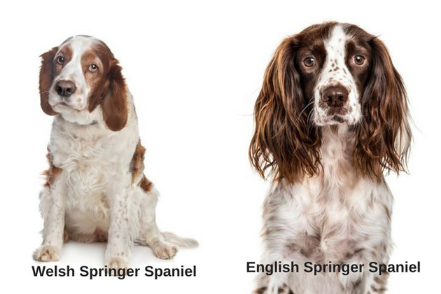 English Springer Spaniel and Welsh Springer Spaniel