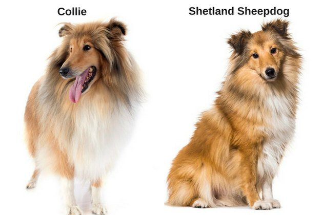 Collie and  Shetland Sheepdog