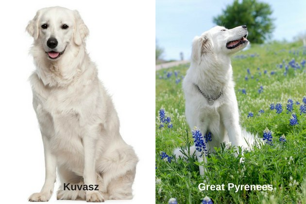 Great Pyrenees and Kuvasz