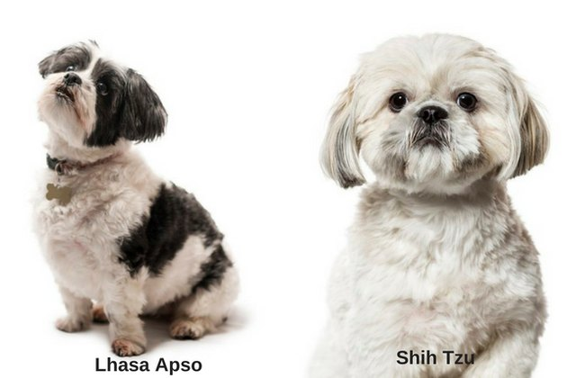 Lhasa Apso and Shih Tzu