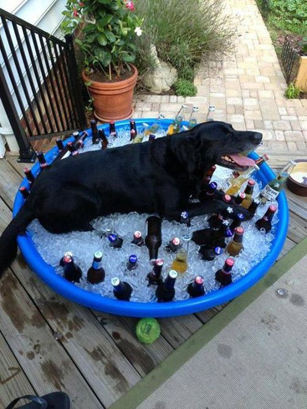 Dog lying in a kiddie pool filled with ice and beer